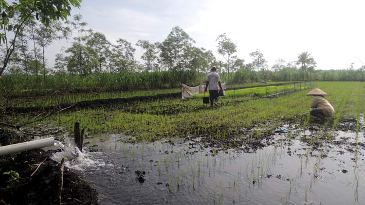 Petani menjaga kebasahan tanah dengan air sungi karena sementara hujan tidak turun. KH/ Kandar