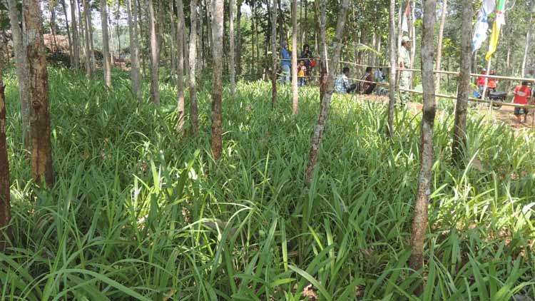 Bibit bunga Amaryllis yang dikembangkan sejak triwulan pertama tahun ini di Desa Salam. KH/ kandar