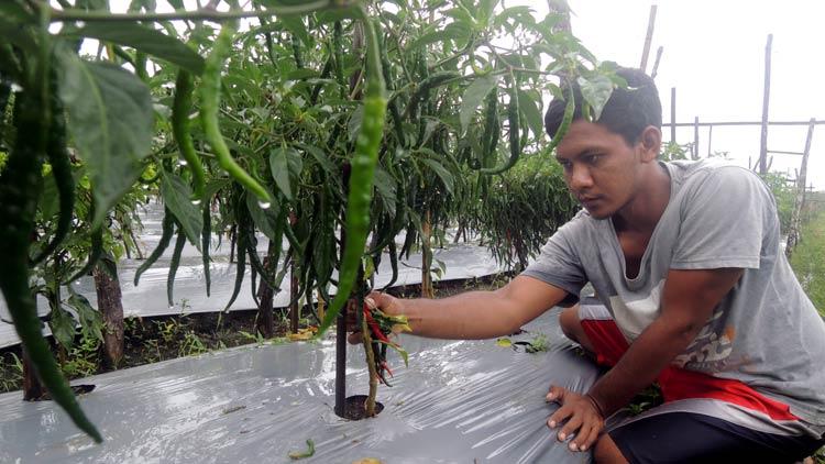 Nurdin sedang memanen cabai. KH/ Kandar