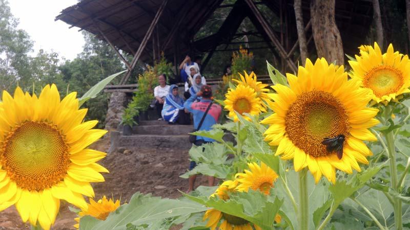 Tengok Ribuan Bunga Matahari Yang Mulai Mekar Di Desa Salam Ini Kh