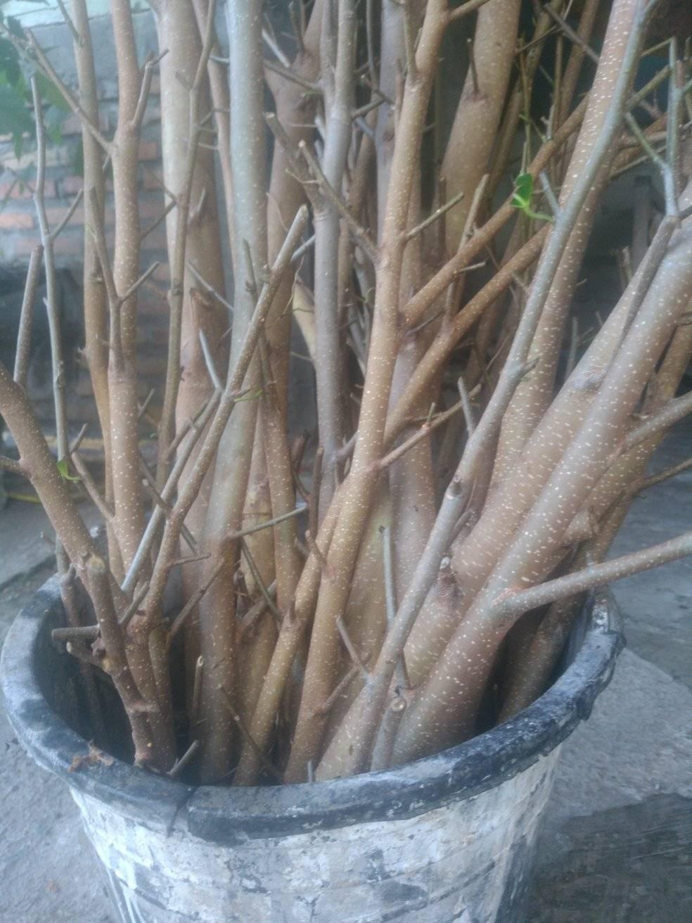 Ujung batang ficus direndam di air bawang merah. Foto:Padmo