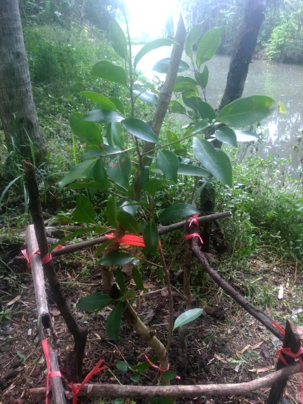 Ficus ditanam di DAS. Foto:Padmo