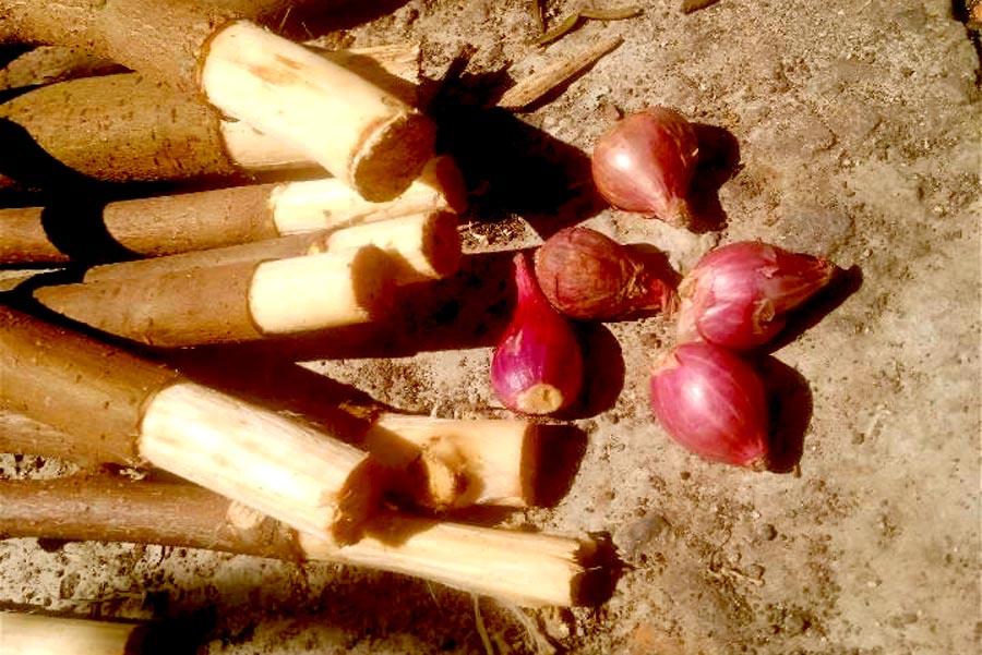 Ujung batang ficus dikelupasi kulitnya. Foto:Padmo