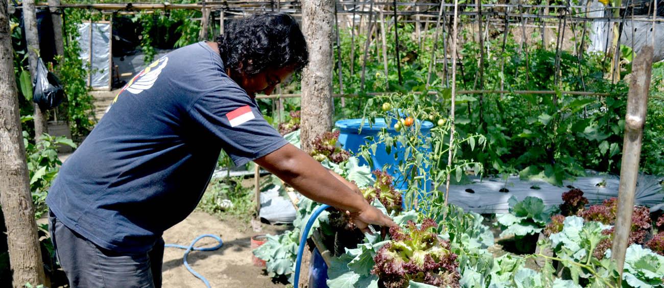 Budi Wibowo sedang menyirami tanaman organiknya.[foto:NR]