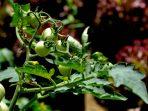 Tanaman Organik Tomat Milik Budi Wibowo di Karangsari, Semin; ia merdeka membuat pupuk sendiri