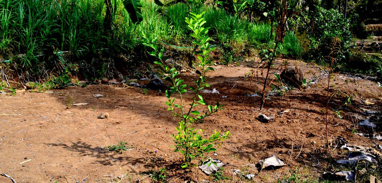 Tanaman jeruk; salah satu tanaman konservasi lahan di bukit Prambutan.[Foto:NR]