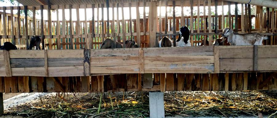 Kandang ternak kambing.[Foto:Padmo]