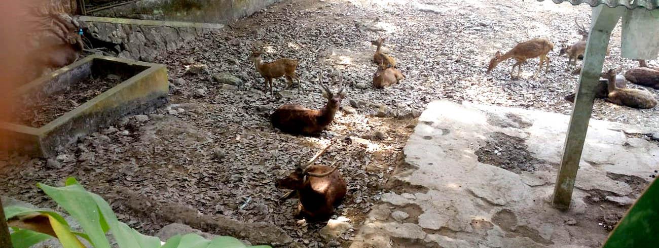 Rusa Timor (Cervus Timorensis) potensial untuk dijadikan hewan ternak. Selain dagingnya, ranggah atau tanduknya bisa dimanfaatkan.[Foto:Padmo]