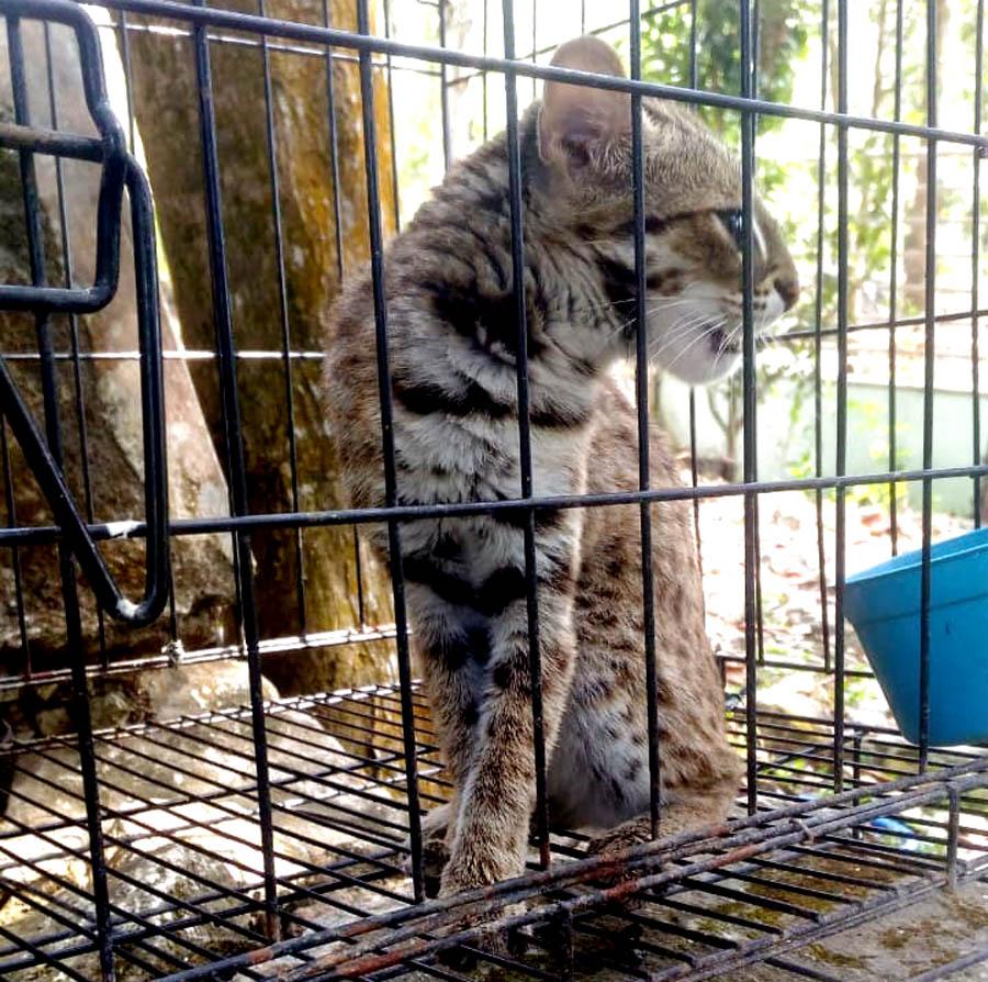 "Kucing Hutan atau dikenal sebagai ""Bacaan""; merupakan salah satu carnivora dilindungi yang masih tersebar di Gunungkidul.[Foto:Padmo]"