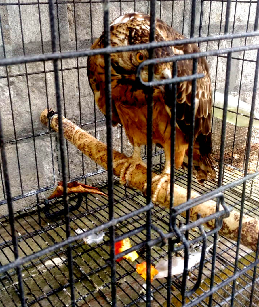 Seekor Sikep Madu Asia; pengunjung musim dingin yang kurang beruntung karena menjadi korban perdagangan illegal.[Foto:Padmo]