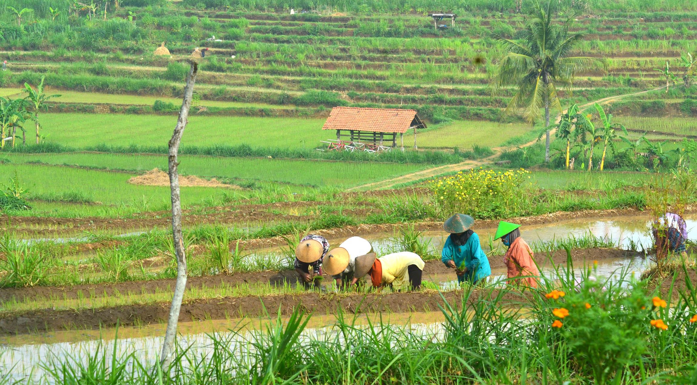 Para amongtani di wilayah Gunung Api Purba Nglanggeran sedang menanam padi. Foto:WG