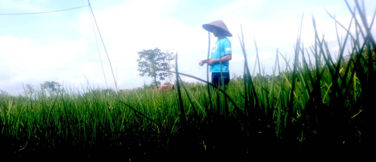 Bisnis Pertanian Bawang Merah