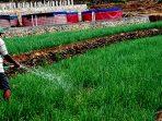 Pertanian bawang merah di Dusun Sumber Girisuko Panggang memanfaatkan sumber air bawah tanah dengan pengeboran