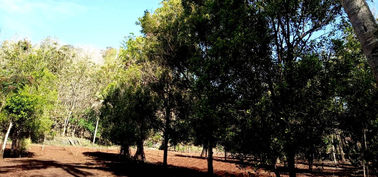 Kebun Cengkeh Peninggalan Mbah Jarwo Utomo