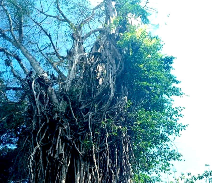 Kondisi Resan Pohon Beringin di Area Pasar Kawak.[Foto:Padmo]