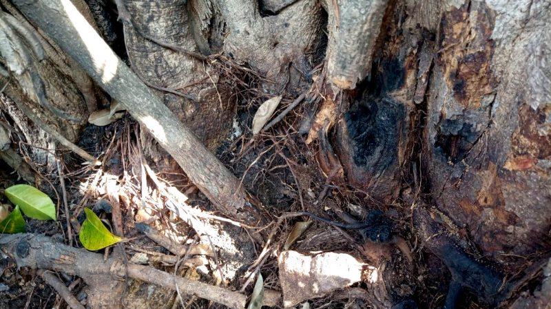 Bekas Pembakaran pada pokok pohon resan di area Pasar Kawak atau Pasar Argosari Lama