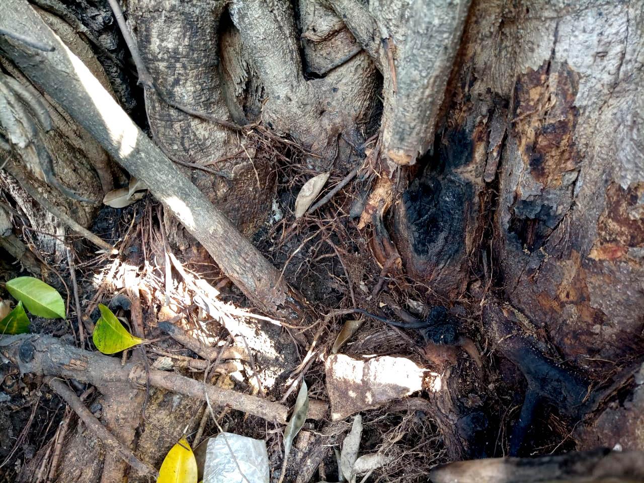 Bekas Pembakaran pada pokok pohon resan di area Pasar Kawak atau Pasar Argosari Lama.[Foto:Padmo]
