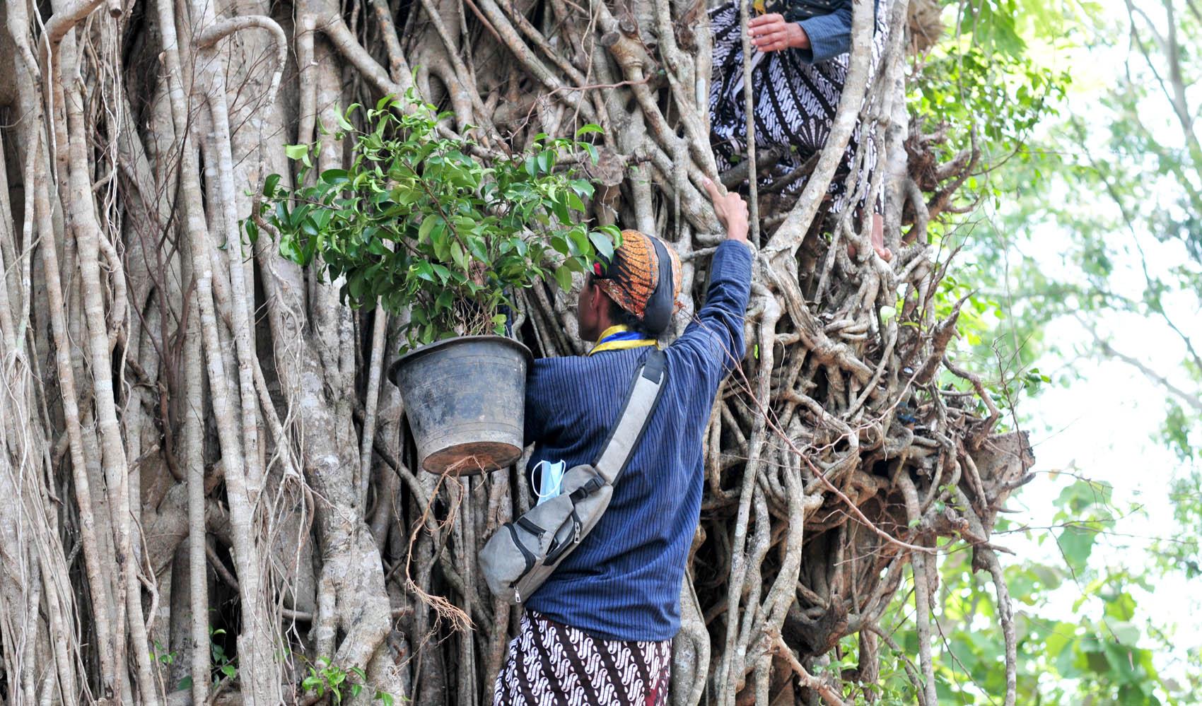 Prosesi penyulaman beringin pada tubuh resan pohon beringin di Pasar Kawak.[Foto:Padmo]
