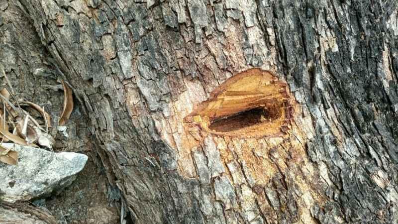 Pohon Resan